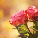autumn_roses_by_incolor16-d5lye9n