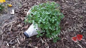 Kerti süni: süniben a növény